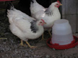 Hens beside waterer