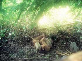 Tamworth piglets in their nest